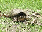 stock photo of dinosaur-eggs  - Common Snapping Turtle - JPG