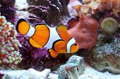 pic of clown fish  - Clown fish - JPG