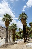 Fan Palm Trees In The Rocky Landscape Of Indian Canyons Near Palm Springs California In The Coachell poster
