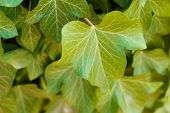 Green Leaves Texture. Beautiful Green Leaves, Green Pattern Background, Green Leaves With Sun Ray. poster
