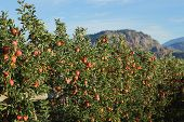 Okanagan Apple Orchard, British Columbia