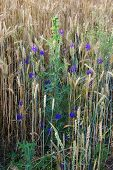 Weeds On The Field - Forking Larkspur (consolida Regalis) And Creeping Thistle (cirsium Arvense) Are poster