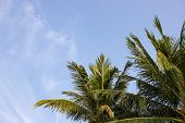 Fluffy Coco Palm On Blue Sky Background. Green Palm Top Photo Wallpaper. Exotic Place For Vacation.  poster