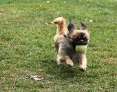 Pekingese With A Tennis Ball