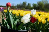 Picking Tulips In Tulip Field. Vibrant Tulip Flowers. Beautiful Tulips In Springtime Tulip Field At  poster