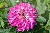 Close Up Purple Dahlia Flower poster