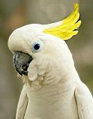 Smiling White Cockatoo