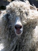 Wooly Smile