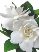 pic of gardenia  - Isolated Gardenia - JPG
