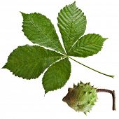 Leaf and conker of horse chestnut tree with water drops  on a white background