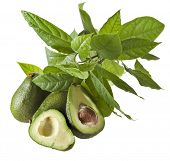 foto of avocado tree  - Avocado fruits with young leaves from Avocado tree - JPG
