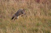 Airborne Coyote