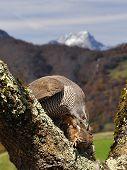 stock photo of goshawk  - Goshawk hunting a partridge in the forest - JPG
