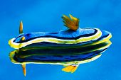 reflective nudibranch