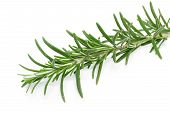 Rosemary (Rosmarinus officinalis) on white background