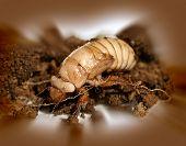 Christmas beetle larvae  Scarabaeidae Anoplognathus metamorphism