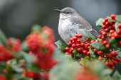 foto of mockingbird  - a mockingbird sitting on a holly bush  - JPG