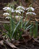 Formation Of Snowdrops