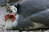 Close-up portrait of a Helmeted guineafowl (Numida meleagris), South Africa