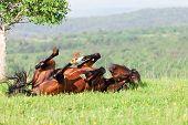 bay horse lies on a green grass