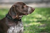 German Shorthaired Pointer (Kurzhaar) portrait
