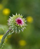 Milk Thistle, Silybum Marianum