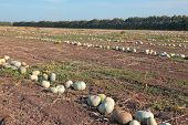 Pumpkins On The Field