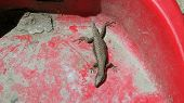 No Tail Lizard
