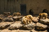 picture of foodchain  - Brown Bears eating fish on the rock - JPG
