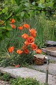 Overgrown Poppies
