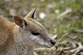 image of wallaby  - this is the close up of an agile wallaby - JPG