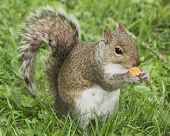 stock photo of doritos  - A ground squirrel eats a nacho cheese corn chip - JPG