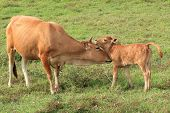 picture of calf cow  - Cow tenderly licking her young calf outdoor - JPG