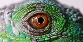 stock photo of lizard skin  - a macro of a fantastic green iguana eye - JPG