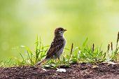 Cor de barro Sparrow andando na grama.