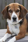 Un perro Beagle