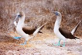 picture of booby  - Couple of blue footed boobies performing mating dance - JPG