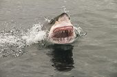 pic of great white shark  - attack great white shark from the sea
