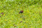 Flecht-Blatthühnchen auf der Suche nach Nahrung auf einem Sumpf