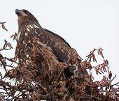 Immature Bald Eagle In Tree Skagit County Washington