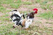 stock photo of bantams  - White Bantam walk on grass in Countryside daytime - JPG