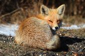 Red Fox (vulpes)