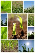 Green Corn Collage