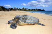 image of sea-turtles  - a turtle resting on a beach in Hawaii - JPG