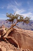 Pine Struggling To Survive  In The Grand Canyon
