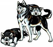 Three Siberian Husky Dogs