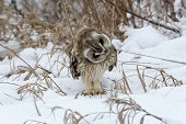 picture of snow owl  - Short - JPG