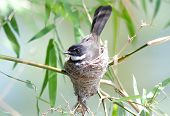 stock photo of fantail  - Pied Fantail Rhipidura javanica bird in thailand