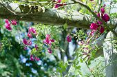 picture of english rose  - Pristine pink roses in an English garden - JPG