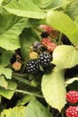 Red And Black Blackberries Ripening